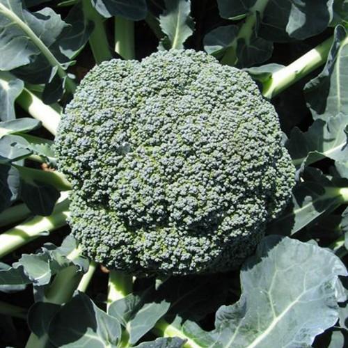 Çağlar F1 Brokoli Fidesi